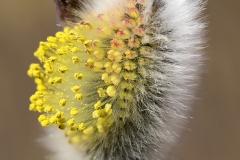 Pajunkissa alkaa kukkimaan