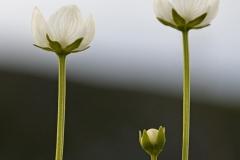 Vilukko on pohjoisen kasveja