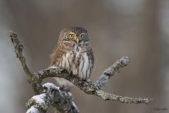 Varpuspöllö on minikokoinen, mutta tuiman näköinen peto