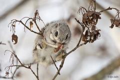 Liito orava ruokailee vaahteran siemenillä