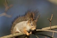Orava vaahterassa