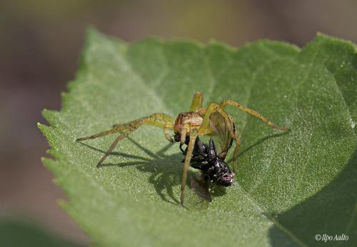 Hämähäkin saalisonnea