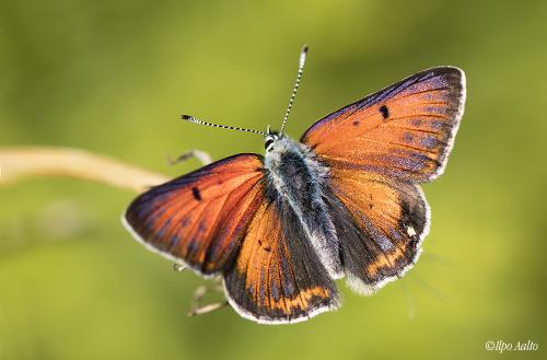 Ketokultasiipikoiras on upea perhonen. Jospa olisi vielä isompi...