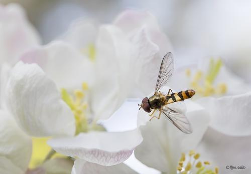 Kukkakärpäslaji omenankukassa
