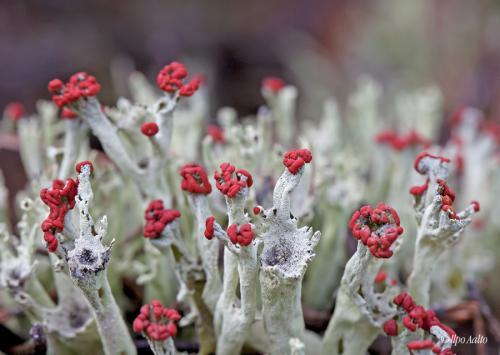 Torvijäkälä kukkii