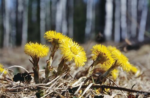 Leskenlehdet ennättävät keväisin ensimmäisinä kukkimaan