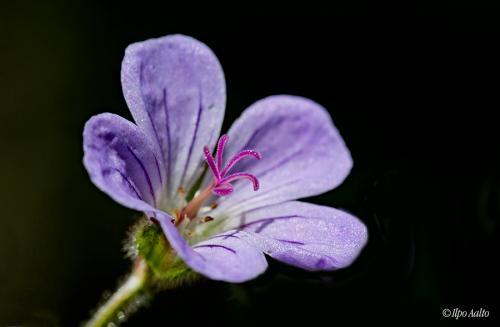 Metsakurjenpolven kukka lähikuvassa