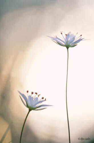 Metsätähden hennot kukat