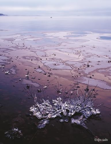 Jäät tarttuvat rantakasveihin Saimaan jäätyessä