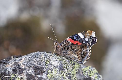 Myös amiraaliperhonen on alapuolelta tyylikäs