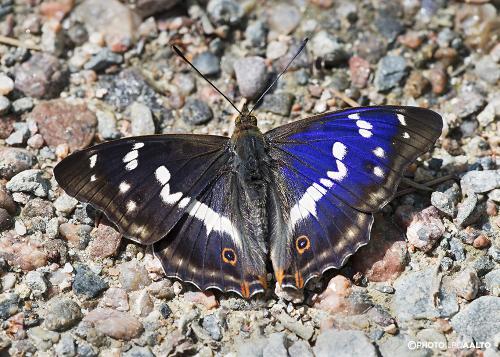 Häiveperhonen siivet välähtävät sinisinä sopivassa kulmassa