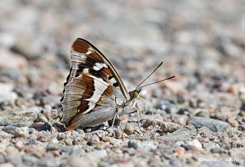 Häiveperhonen on kaunis myös siipien alapuolelta