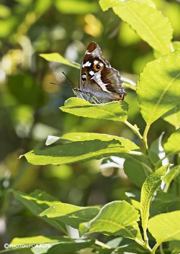 Häiveperhonen