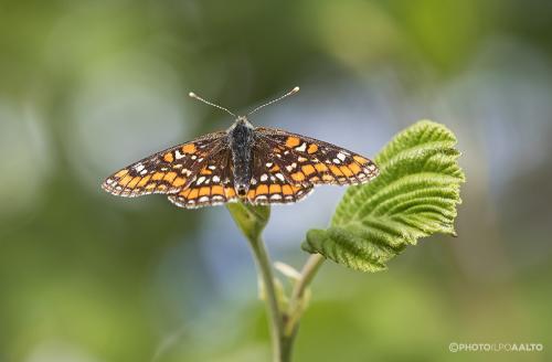 Kirjoverkkoperhonen