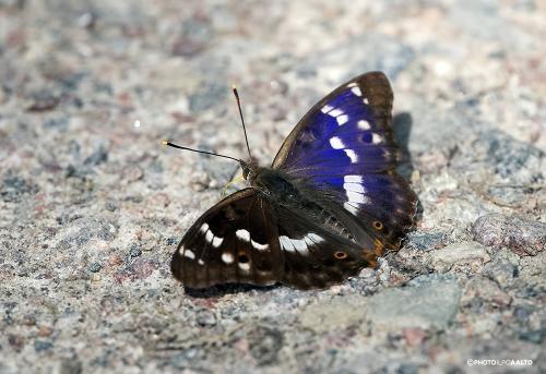 Pikkuhäiveperhonen on upea valon eri kulmien mukaan
