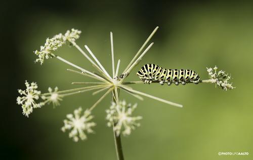 Ritariperhosen toukka