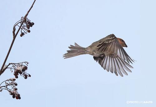 Taviokuurna lentää