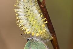 Varmat kevään merkit: kangasperhonen ja pajunkissa.