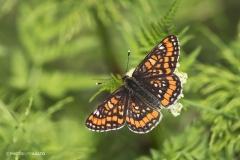 Kirjoverkkoperhonen on vähemmän tunnettu, mutta värikäs ilmestys