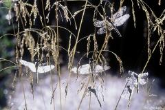 Korennot odottavat siipien kuivumista