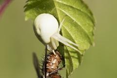 Kukkahämähäkki on saanut kärpäsen lounaakseen