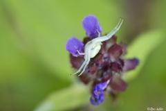 Kukkahämähäkki odottaa päivän ateriaa