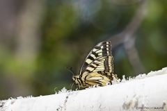 Perhosten aatelinen, ritariperhonen