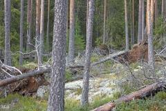 Tuulen kurittamaa metsää Julunkiven lähistöllä