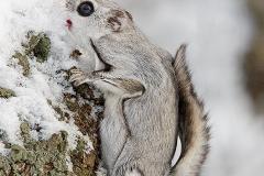Liito orava tyydyttää janon lunta lipomalla