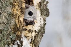Liito orava kurkistaa kolostaan