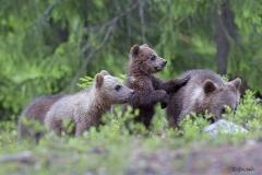 Karhunpennuilla on kokoeroa